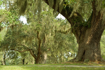 Live Oaks and spanish moss 1