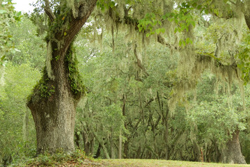 Live Oaks and spanish moss 2