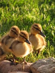 Three Adorable Ducklings