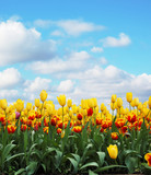 tulips - Fine Art prints