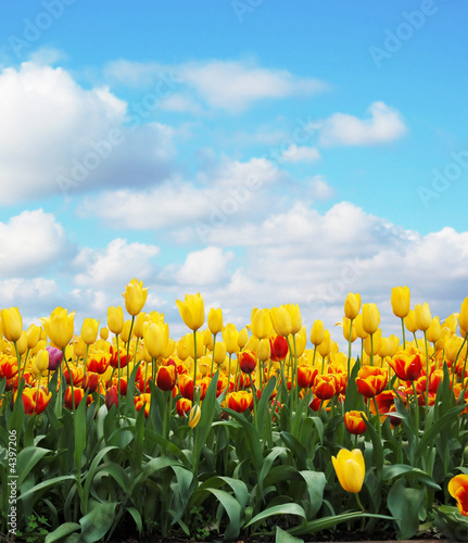 canvas print picture tulips