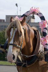 The decorated horse in a harness.
