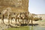 camels drinking in sede boker desert, israel poster