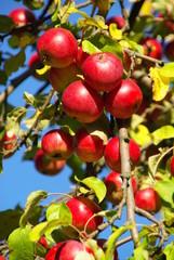 Apfel 10