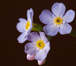 Forget-me-not''s flowers