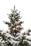 Winter spruce poster