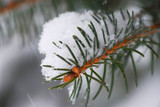 Spruce branch with snow poster
