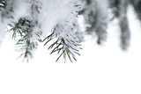 Spruce branches with snow poster