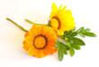 Two gazania flowers