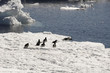 Adelie penguins escaping