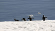 Adelie penguins on the run