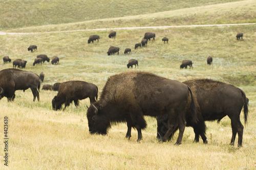 Foto op Plexiglas Buffel Buffalo Herd 5