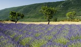 Lavender field with trees