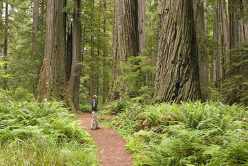 Redwood trees with hiker looking up.