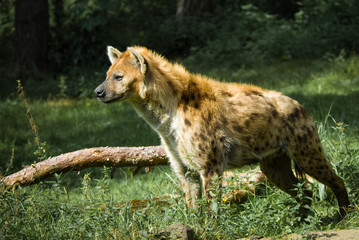 beautiful hyena