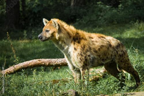 Papiers peints Hyène beautiful hyena