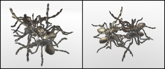 spiders fight