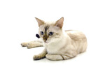 Isolated white bengal cat poster