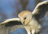Barn Owl - Tyto alba - Hovering poster