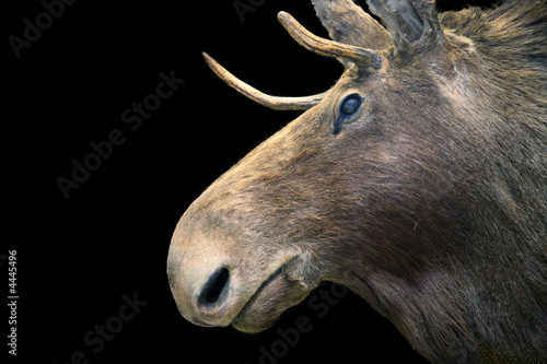 moose muzzle on the black