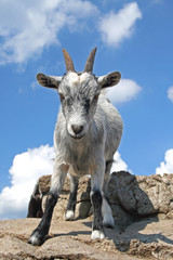 Goat ready to fight, seen from below, against a blue sky