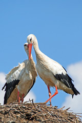 Pair of storks kissing in nest
