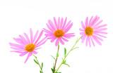 Three magenta gerbera daisies poster