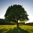 roleta: le chêne