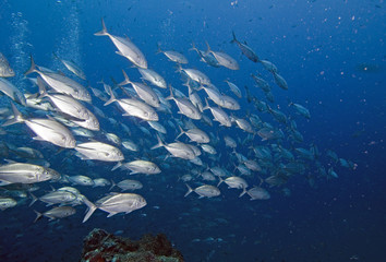School of trevally in tropics