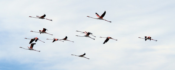 Vol de flamands roses