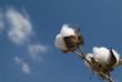 Cotton branch