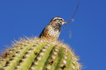 Cactus Wren With Twig