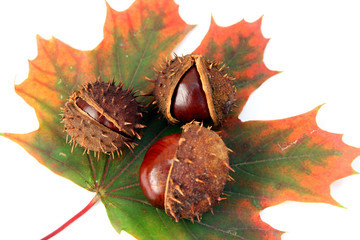 chestnuts and autumn leaf