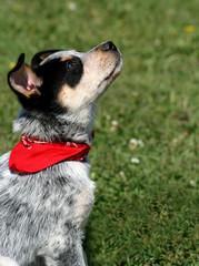 Heeler Pup 14