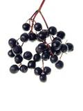 elderberry - 4491020