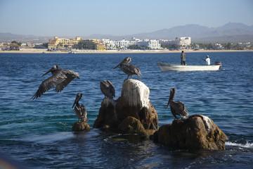 pelicans at Cabo San Lucas in Baja California Sur in Mexico