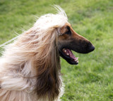 Happy Afghan Hound poster
