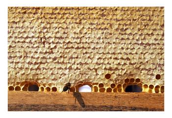Macro of working bee on the honey cells