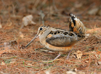 American Woodcock Courtship Display