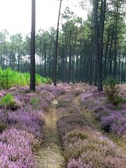 Chemin dans la forêt landaise
