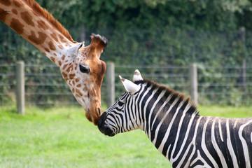 zèbre et girafe