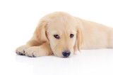 Golden retriever puppy isolated on white poster