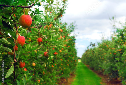 Apple orchard - 4510213