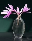 colchicum lila flowers poster
