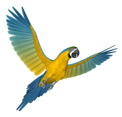 Blue and Gold Macaw Flying 2