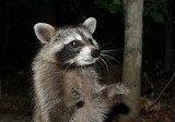 Racoon Begging poster