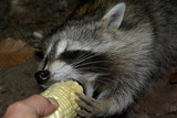 Hungry Racoon poster