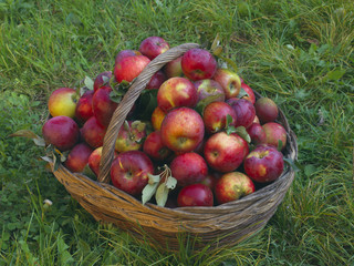 Basket of freshly picked organic apples