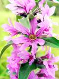 purple wildflowers poster