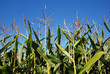 Sweetcorn growing in English field with blue summer sky